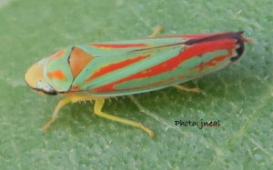 Candy Stripe Leafhopper