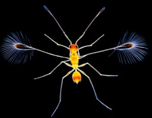Fairy Wasp