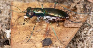Miami Tiger Beetle