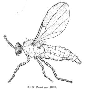 Mycophila speyeri
