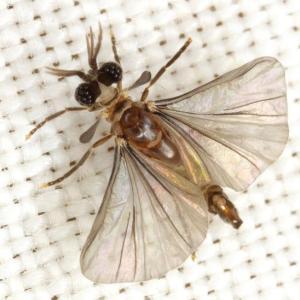 Male Strepsiptera