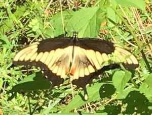Swallowtail Mutant