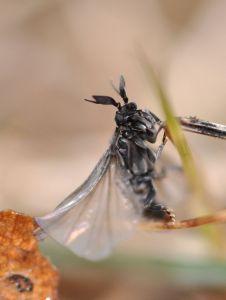 Stylops melittae male