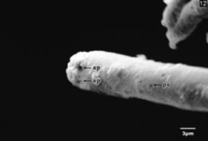 Respiratory filament, castor butterfly