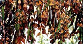 Butterflies at Pismo Beach