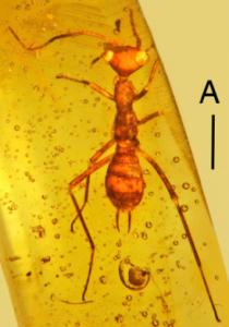 Aethiocarenus burmanicus