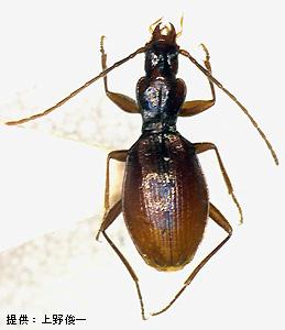 Ishikawatrechus intermedius