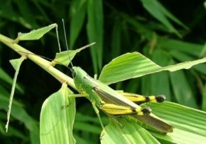 Yellow Spined Bamboo Locust
