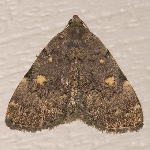 Common Litter Moth