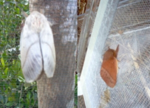 Madagscar Silk Moths