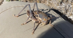 Mormon Cricket